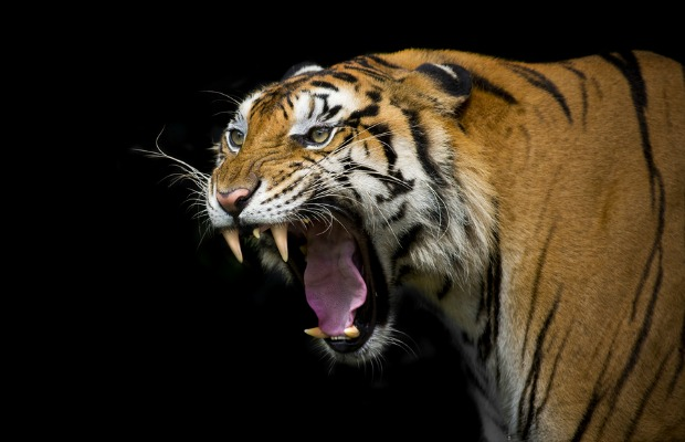 Tiger-roaring - Vaped - photo#37