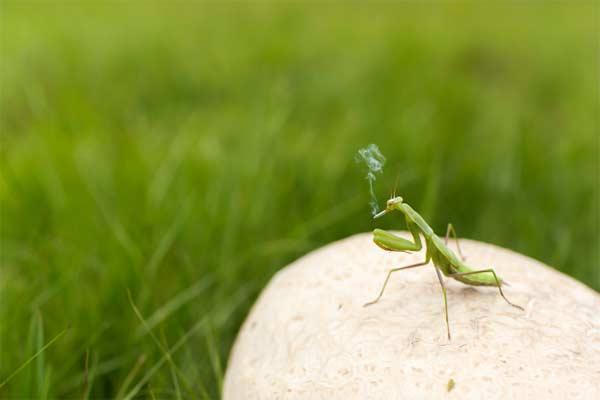 smoking mantis